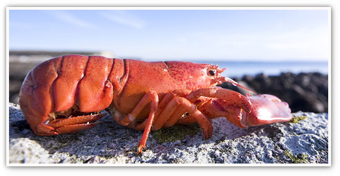 Close up of a live pink lobster sitting on a rock at a beach. Thursday night is Lobster night at Browns